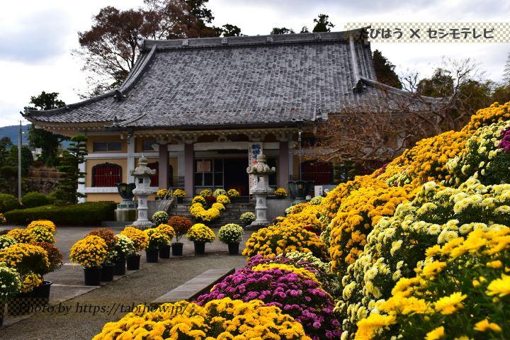 神奈川県のざる菊