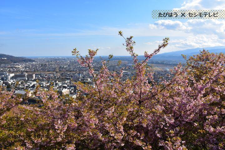 の早桜、河津桜