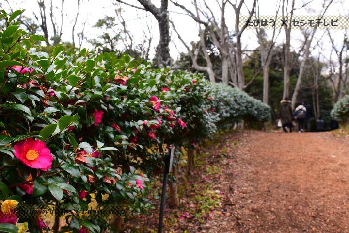 吾妻山公園の椿
