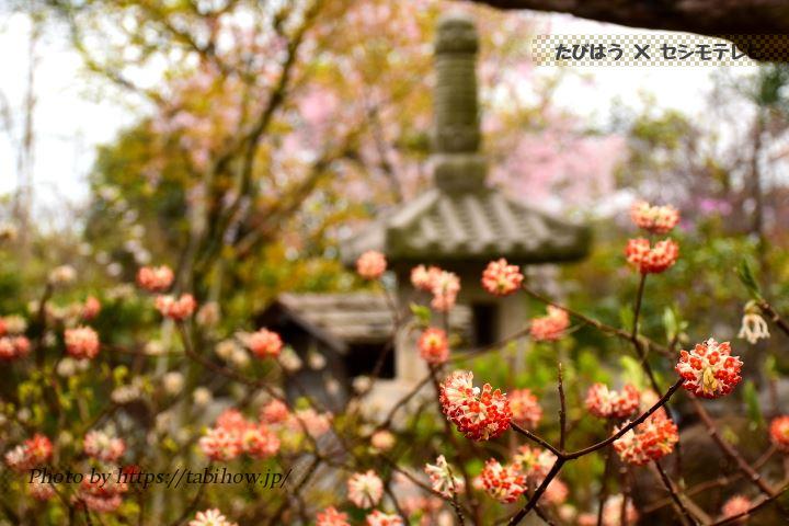 常泉寺のミツマタ