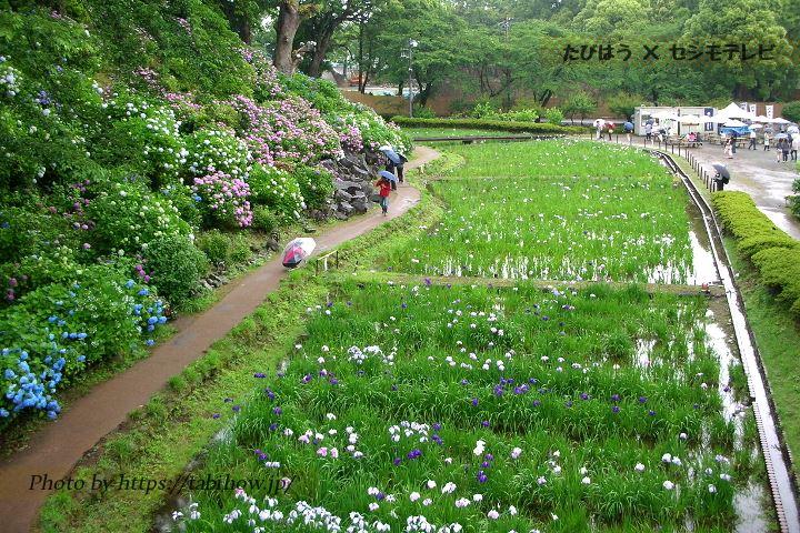 小田原城址公園の花しょうぶ