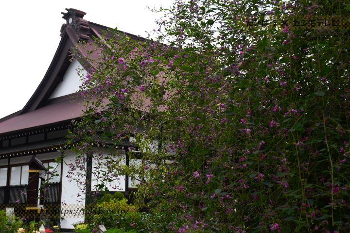 常泉寺のハギ
