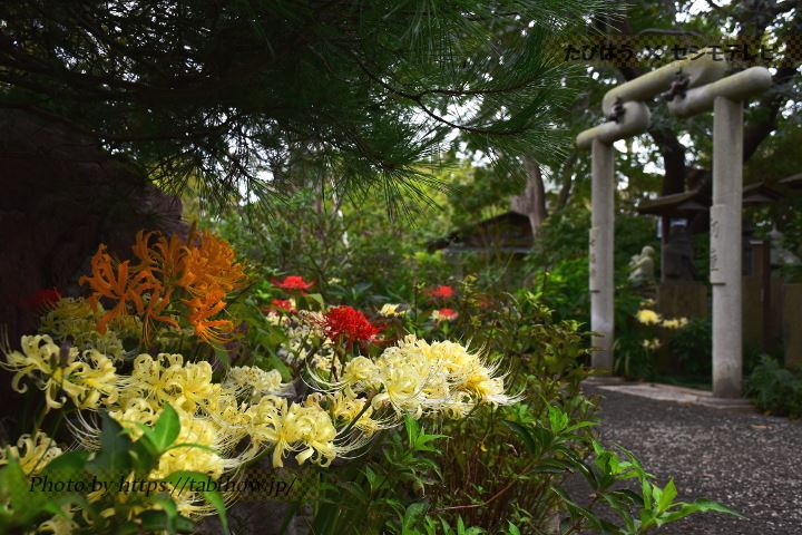 常泉寺の彼岸花