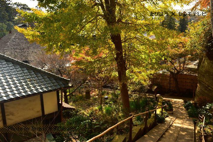 円覚寺のイチョウ