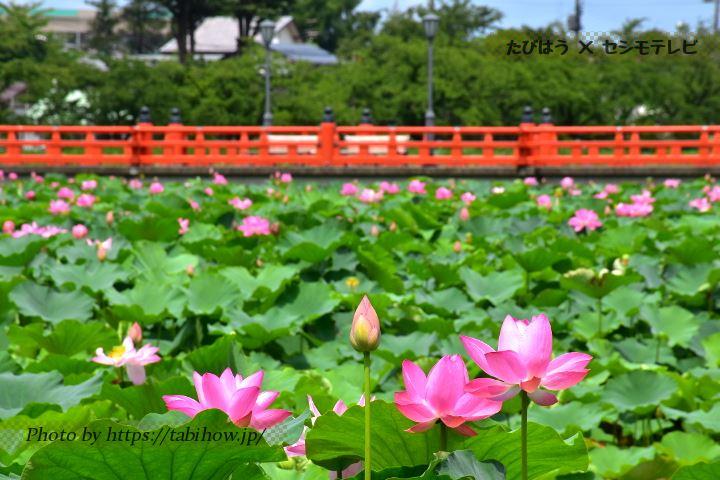 新潟県の蓮