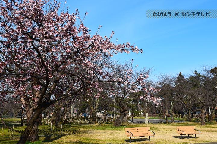 高田公園の早桜、河津桜