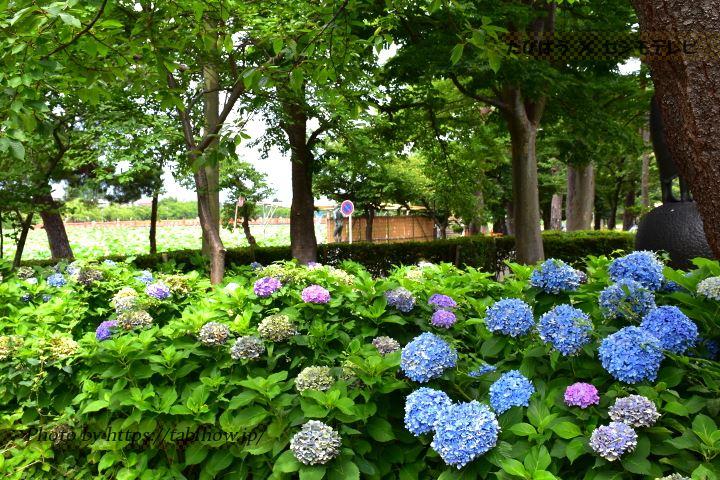 高田公園のあじさい