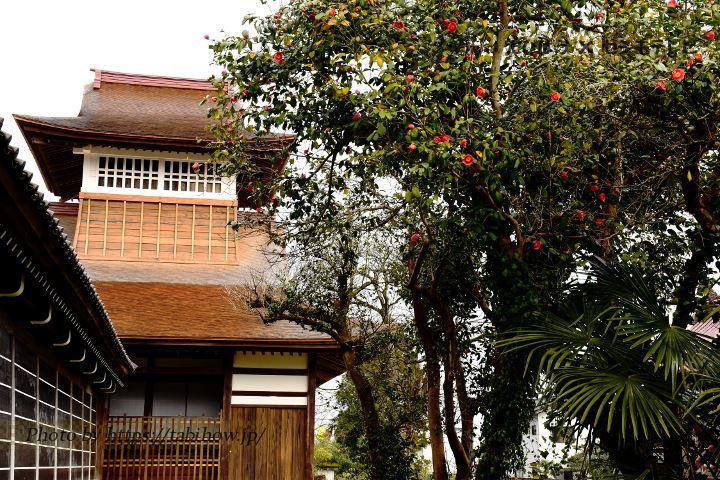 勝興寺の椿