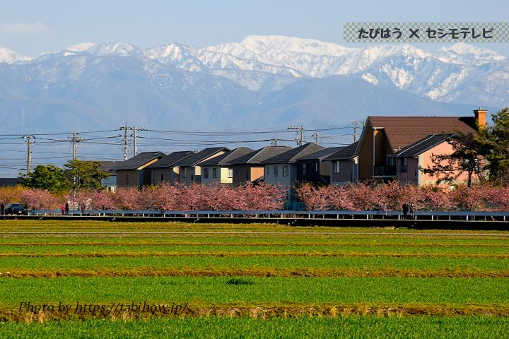 西米光町の早桜、河津桜