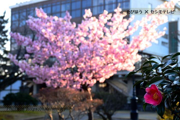 芦城公園の椿