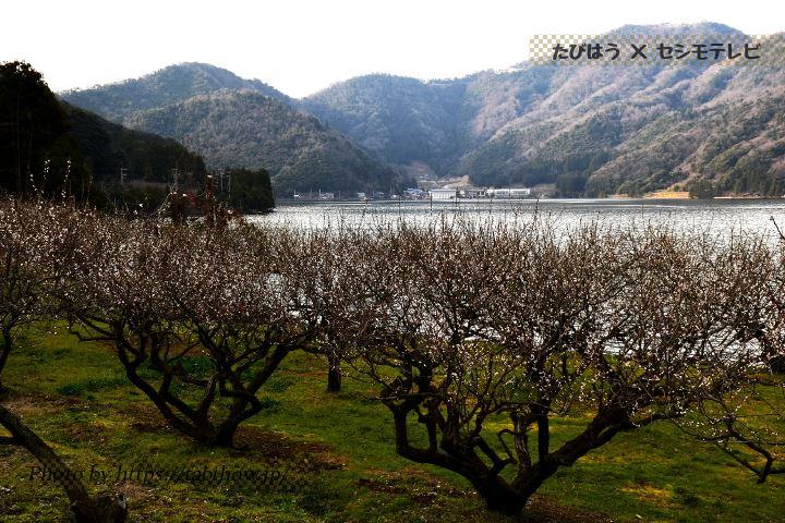 三方五湖の梅