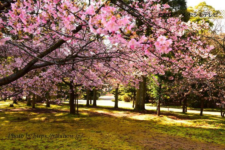 県総合グリーンセンターの早桜、河津桜