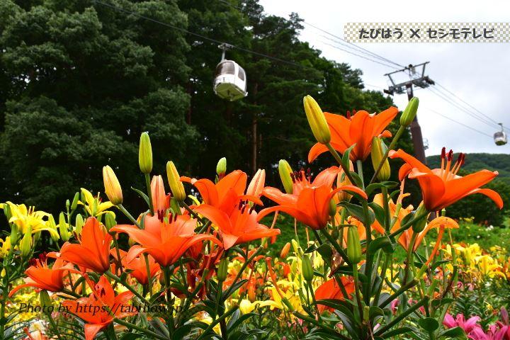 長野県のユリ