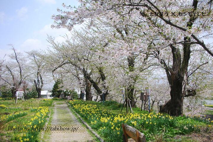 飯山城址公園の水仙
