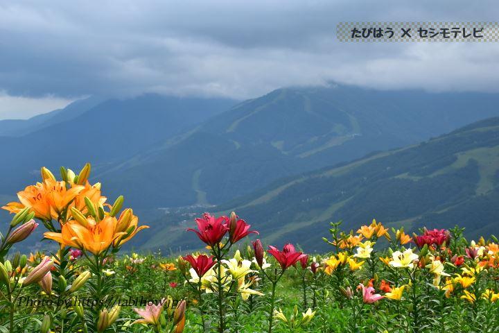 白馬岩岳ゆり園のユリ