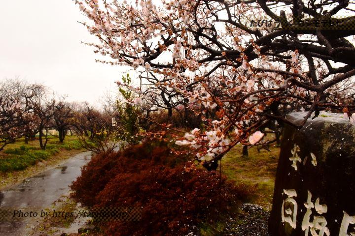 安八百梅園の梅