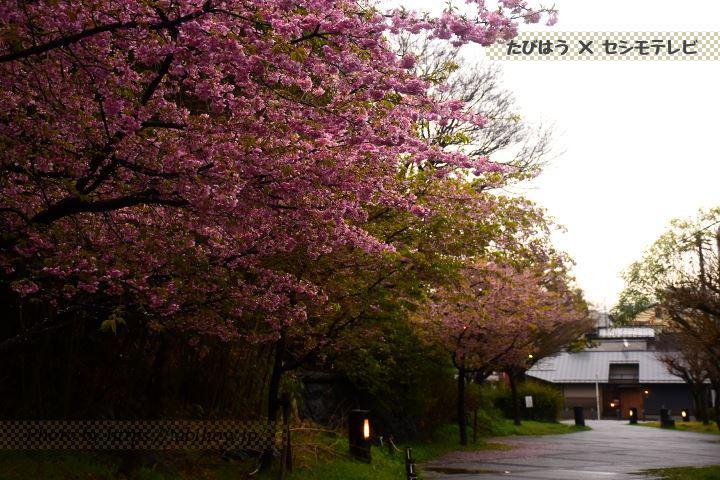 粕森公園の早桜、河津桜