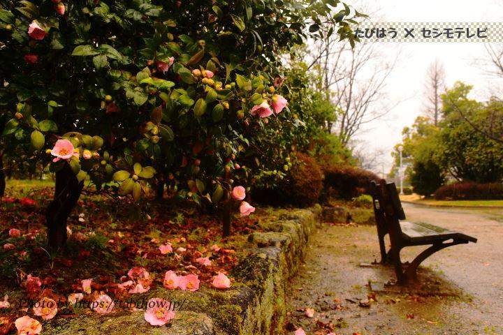 三城公園の椿