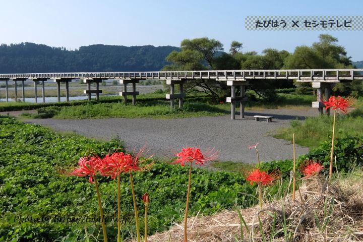 島田蓬莱橋の彼岸花