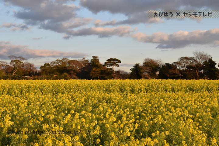 愛知県の菜の花