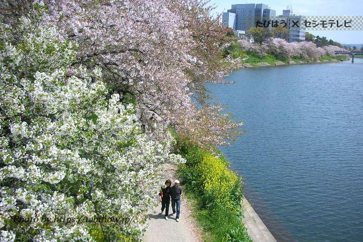 岡崎公園の桜