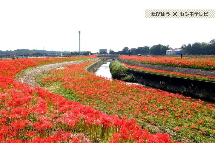 矢勝川堤防の彼岸花