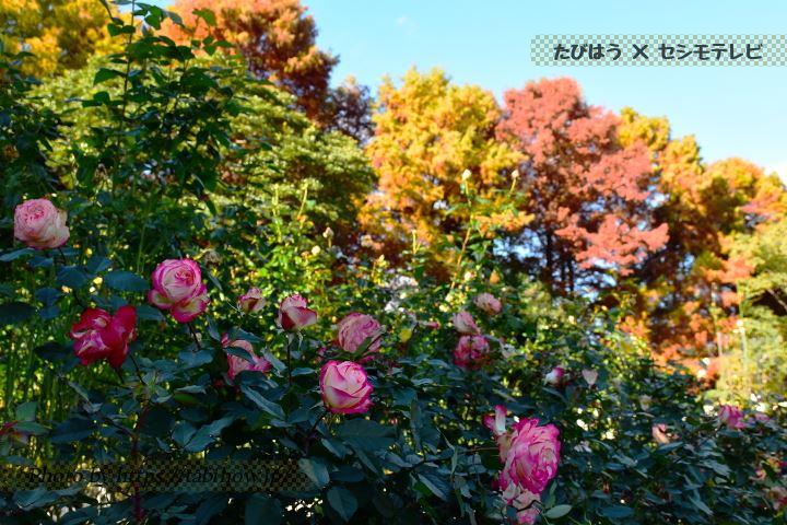 庄内緑地公園の秋バラ