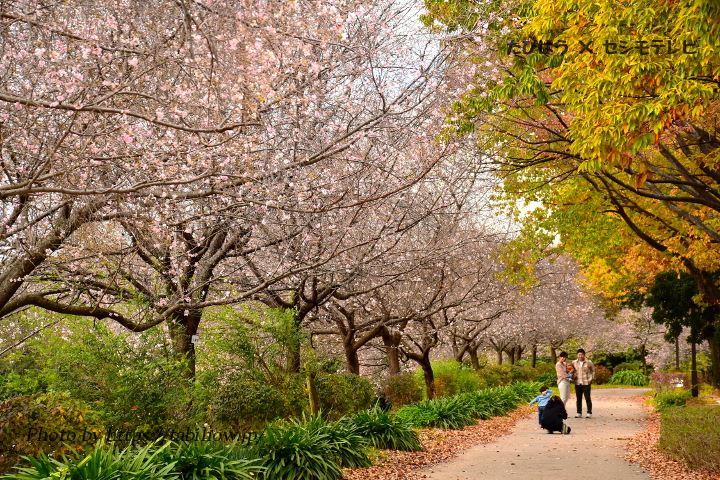 庄内緑地公園の冬桜