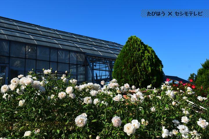 松阪ベルファームの春バラ