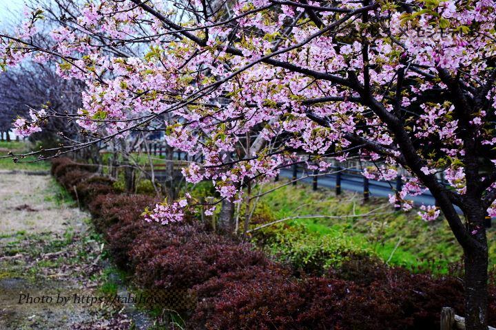 ふじの里の早桜、河津桜
