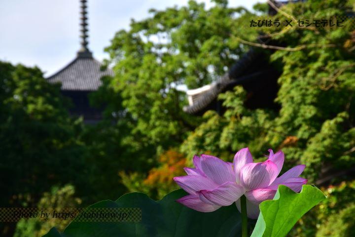 京都府のハス
