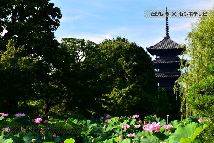 東寺のハス