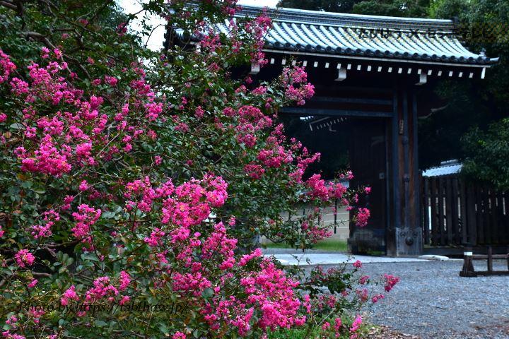 京都御所のサルスベリ