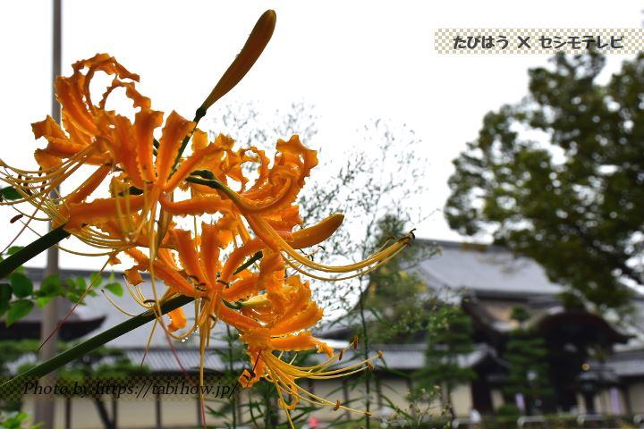 東本願寺近くの彼岸花