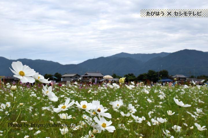 亀岡夢コスモス園のコスモス