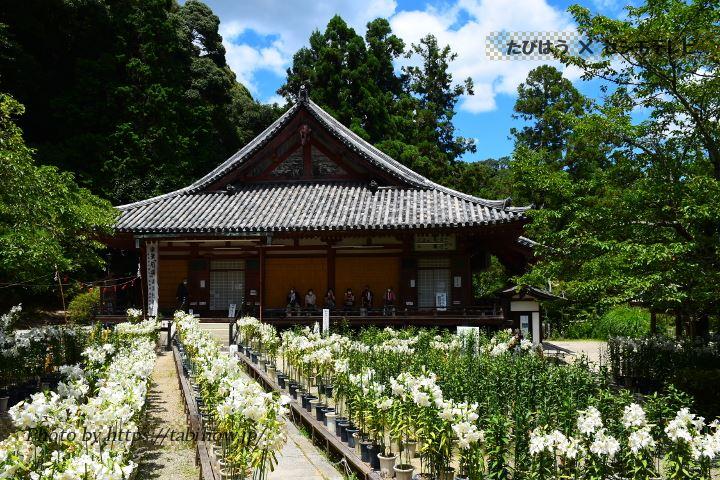 松尾寺のユリ