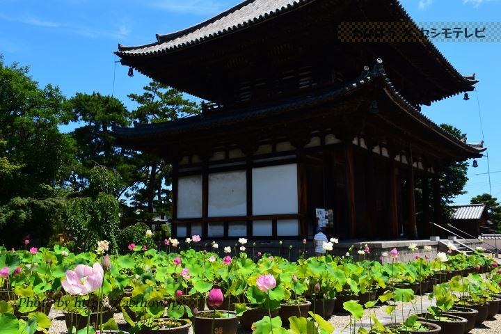 喜光寺のハス