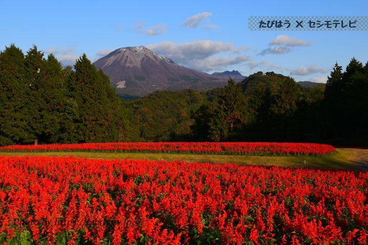 鳥取県のサルビア