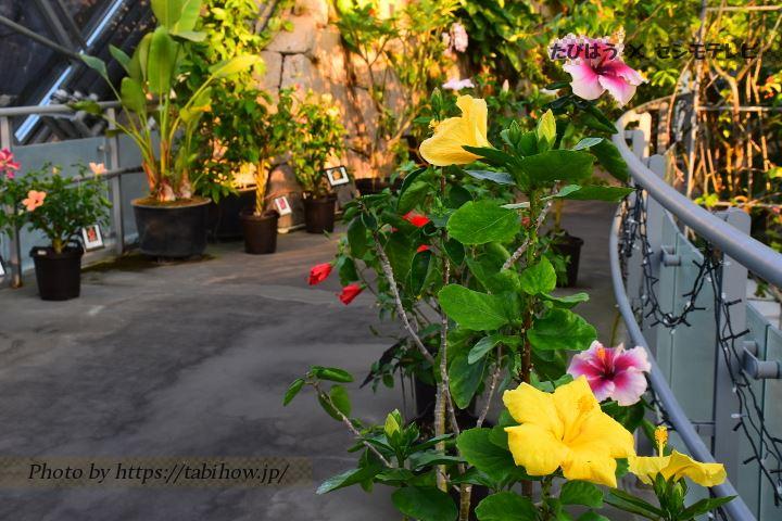 とっとり花回廊のフヨウ