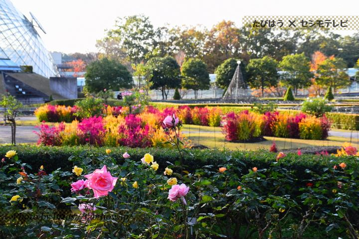 とっとり花回廊の秋バラ