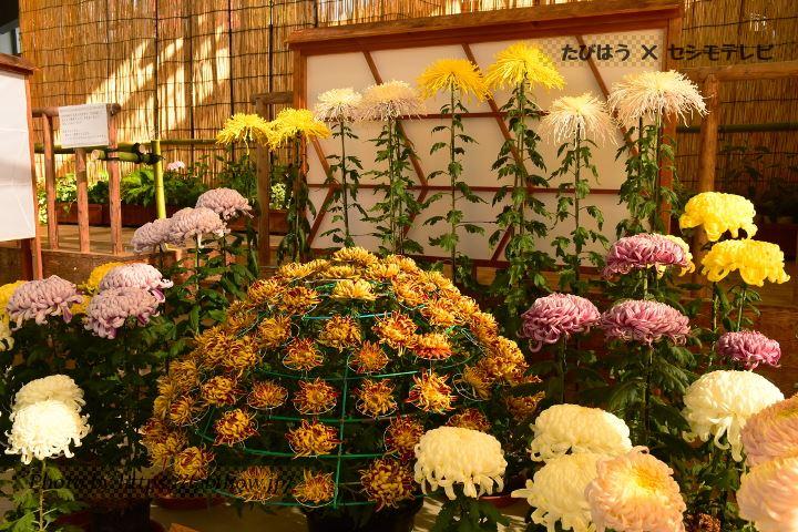 しまね花の郷の菊
