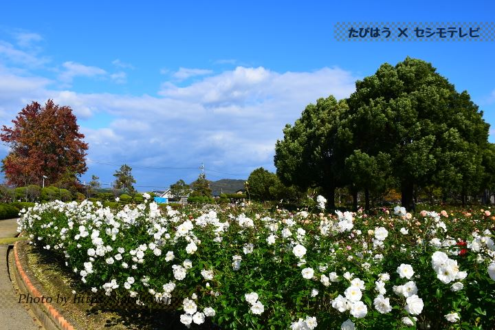 RSKバラ園の秋バラ