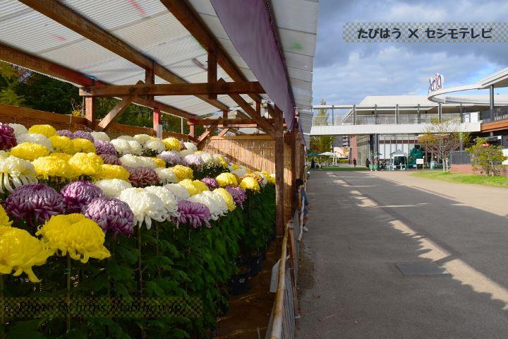 倉敷みらい公園の菊