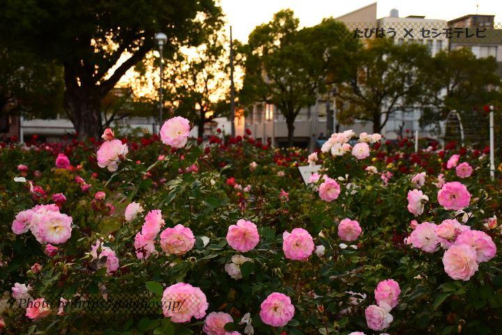 広島県の花特集
