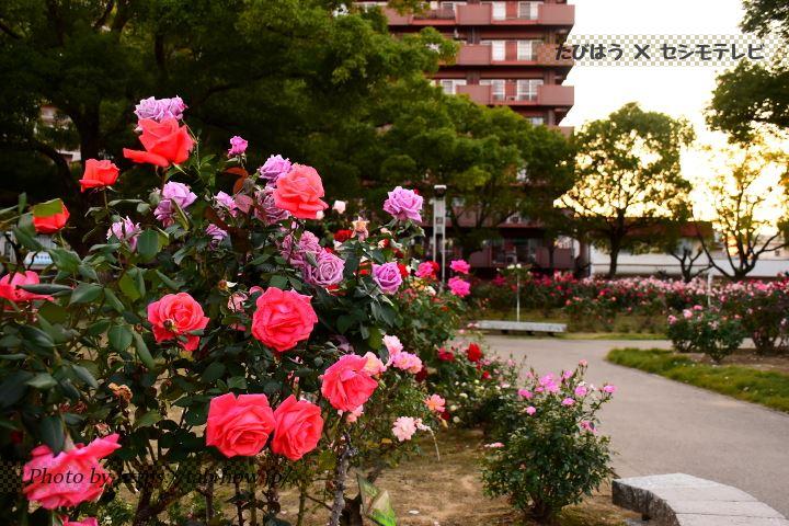 福山ばら公園の秋バラ