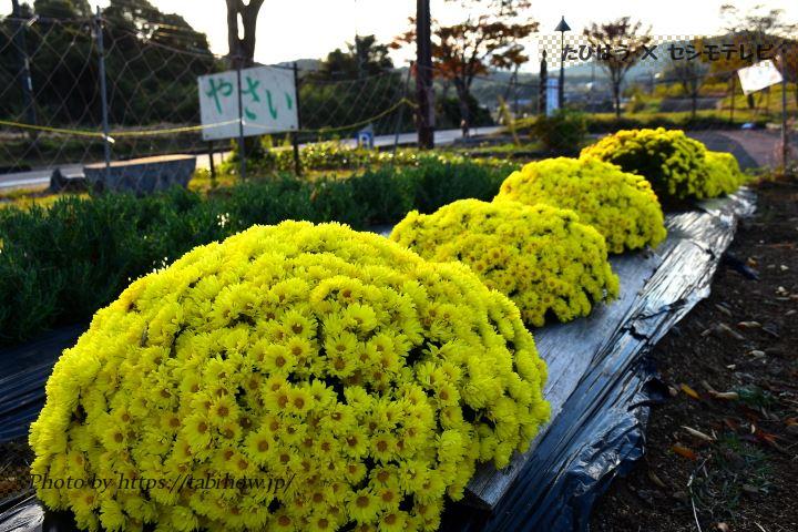 美祢社会復帰促進センターの菊