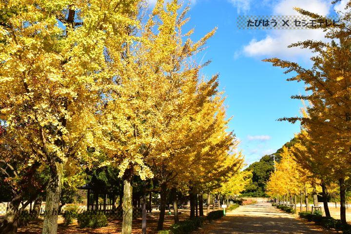 松山城・城山公園三の丸広場のイチョウ