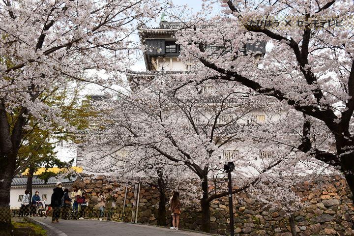 福岡県の菜の花