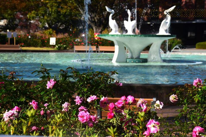 石橋文化センターの秋バラ