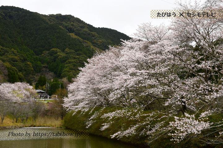 花やしきの桜